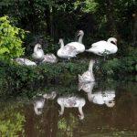 Ferm Y Felin Swans